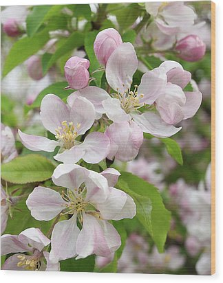 Delicate Soft Pink Apple Blossom Wood Print by Gill Billington