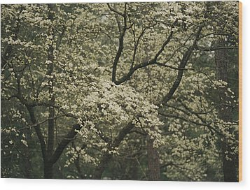 Delicate White Dogwood Blossoms Cover Wood Print by Raymond Gehman