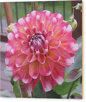 Denali Dahlia Wood Print by Karen J Shine