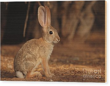 Wood Print featuring the photograph Desert Cottontail Posing by Max Allen