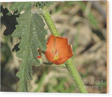 Desert Globemallow Bloom 202 Wood Print