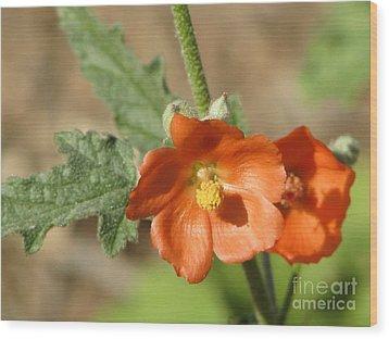 Desert Globemallow Bloom 220 Wood Print