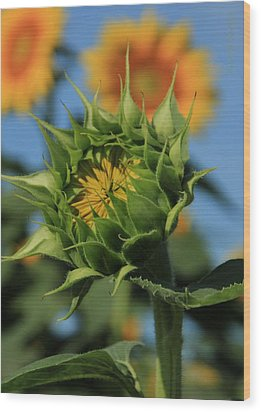 Wood Print featuring the photograph Developing Petals On A Sunflower by Chris Berry