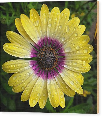 Dew Dropped Daisy Wood Print