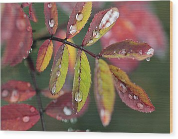 Dew On Wild Rose Leaves In Fall Wood Print by Darwin Wiggett