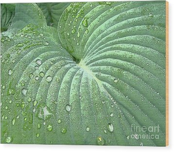 Dewdrops On A Hosta Wood Print by Addie Hocynec