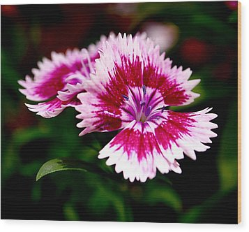 Dianthus Wood Print by Rona Black