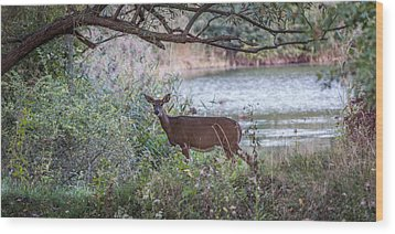 Wood Print featuring the photograph Doe Under Arching Branches by Chris Bordeleau