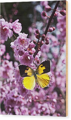 Dogface Butterfly In Plum Tree Wood Print by Garry Gay