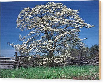 Dogwood And Rail Fence Wood Print by Thomas R Fletcher