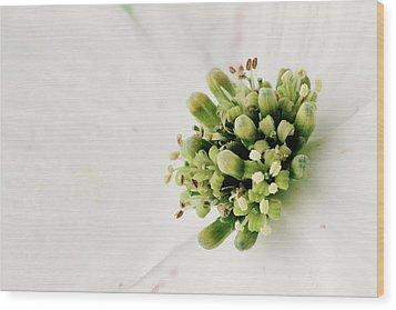 Dogwood Blossom Wood Print by Stephanie Frey