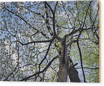 Dogwood Canopy Wood Print by Cricket Hackmann