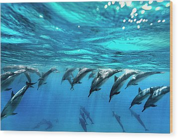 Dolphin Dive Wood Print by Sean Davey