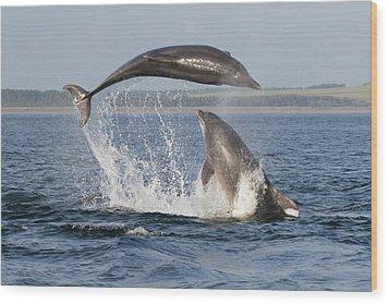 Dolphins Having Fun Wood Print