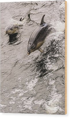 Dolphins Wood Print by Werner Padarin