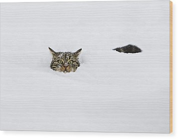 Domestic Cat Felis Catus In Deep Snow Wood Print by Konrad Wothe