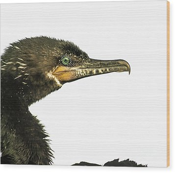 Double-crested Cormorant  Wood Print by Robert Frederick