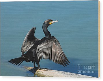 Double-crested Cormorant Spreading Wings Wood Print by Merrimon Crawford
