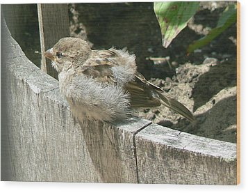 Downy Nestling Wood Print by Pamela Patch