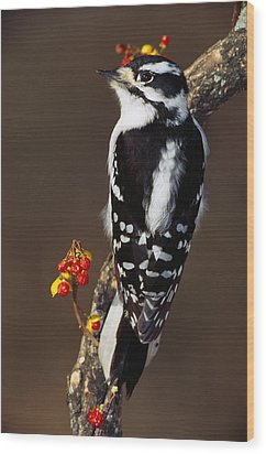 Downy Woodpecker On Tree Branch Wood Print by Panoramic Images