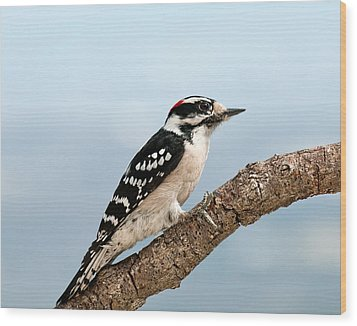 Wood Print featuring the photograph Downy Woodpecker Spring 2016 1 by Lara Ellis