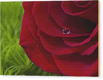 Drop On A Rose Wood Print