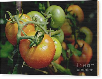Drops On Immature Red And Green Tomato Wood Print by Sami Sarkis