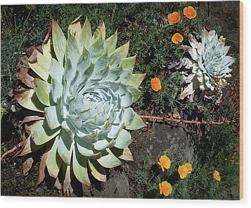 Dudleya And California Puppy Wood Print by Catherine Lau