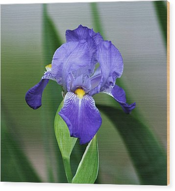 Dwarf Iris 9834_2 Wood Print