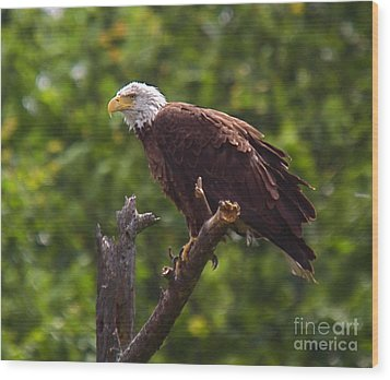Eagle-2 Wood Print by Robert Pearson