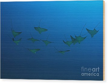Eagle Rays In Ocean Wood Print by Dave Fleetham - Printscapes