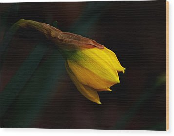 Early Daffodil Wood Print by Kathleen Stephens