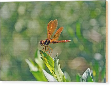 Eastern Amber Wing Dragonfly Wood Print by Kenneth Albin