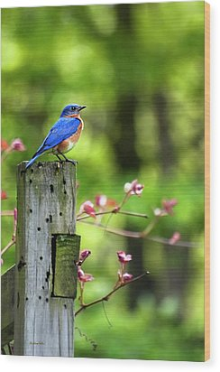 Eastern Bluebird Wood Print by Christina Rollo