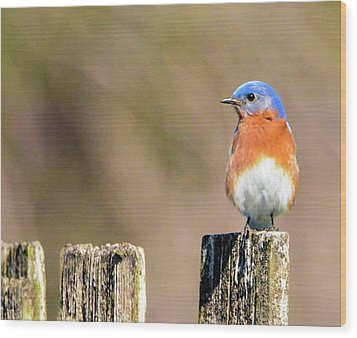 Eastern Bluebird Wood Print by Sumoflam Photography
