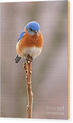 Eastern Bluebird Treetop Perch Wood Print
