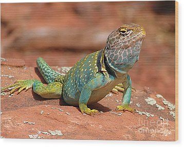 Eastern Collared Lizard Wood Print by Laura Brightwood