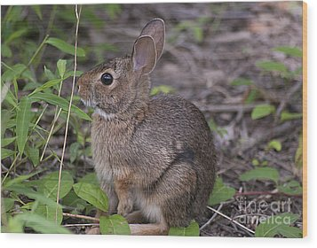 Eastern Cottontail 20120624_11a Wood Print