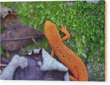 Eastern Newt Wood Print by David Rucker