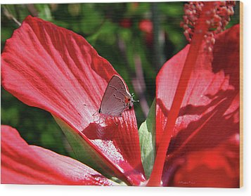 Eastern Tailed Blue Butterfly On Red Flower Wood Print