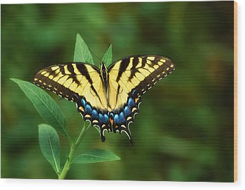 Eastern Tiger Swallowtail Wood Print by Rich Leighton