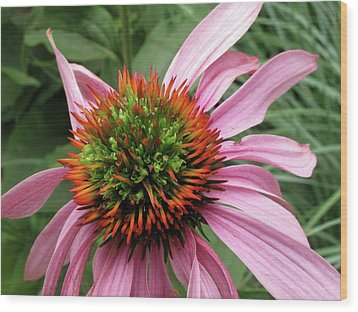 Echinacea Close  Wood Print