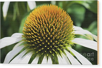Wood Print featuring the photograph Echinacea - Head And Shoulders by Wendy Wilton