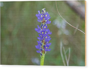 Edible Pickerel Weed Wood Print by Christopher L Thomley