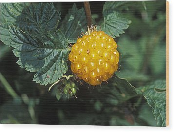 Edible Yellow Salmonberry Rubus Wood Print by Rich Reid