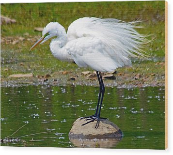 Egret In Mating Plumage Wood Print by Kristine Quandee