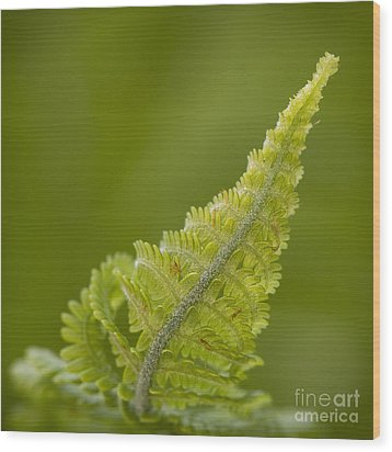 Elegant Fern. Wood Print by Clare Bambers