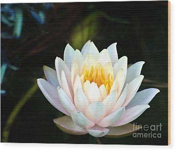Elegant White Water Lily Wood Print