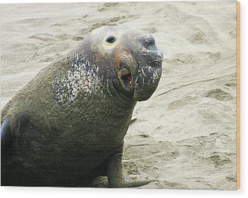 Wood Print featuring the photograph Elephant Seal by Anthony Jones