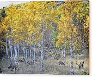 Elk In Rmnp Colorado Wood Print